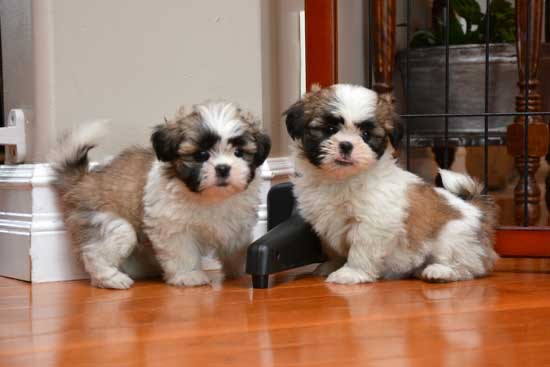 Digsy and her sister as puppies, both sitting on hardwood floor staring at the camera.