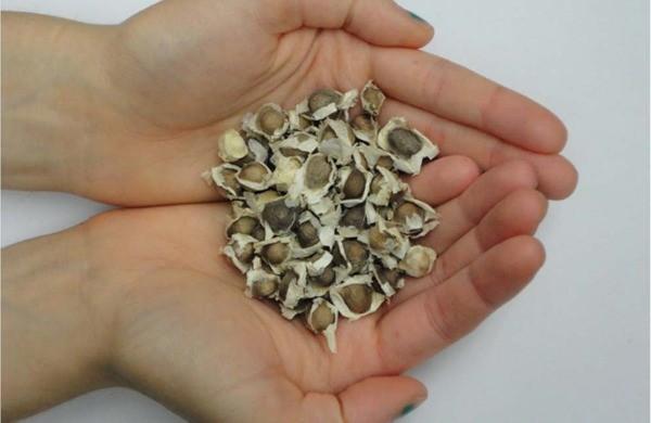 moringa seeds 600x390