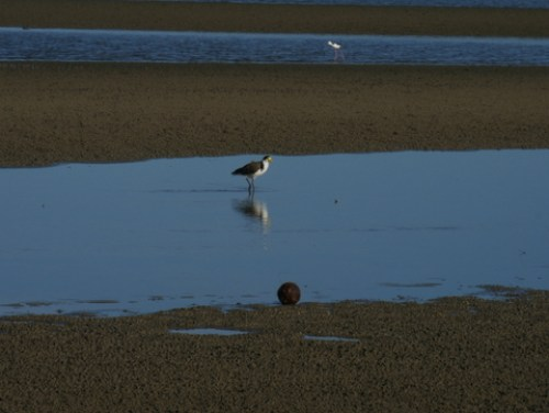 A wading plover