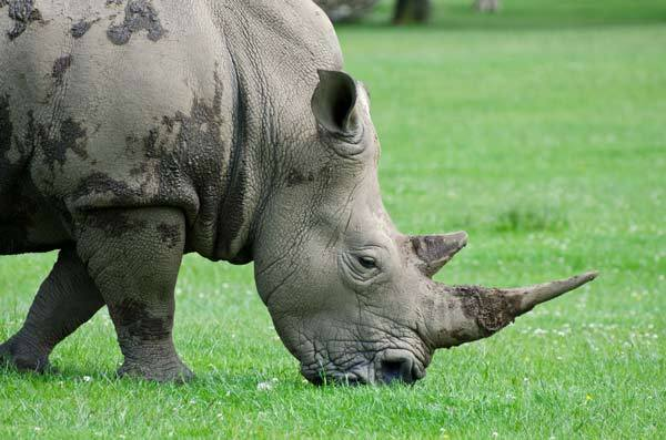 The Endangered Rhinoceros Quillcards