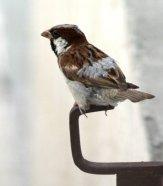 A sparrow on an iron hook