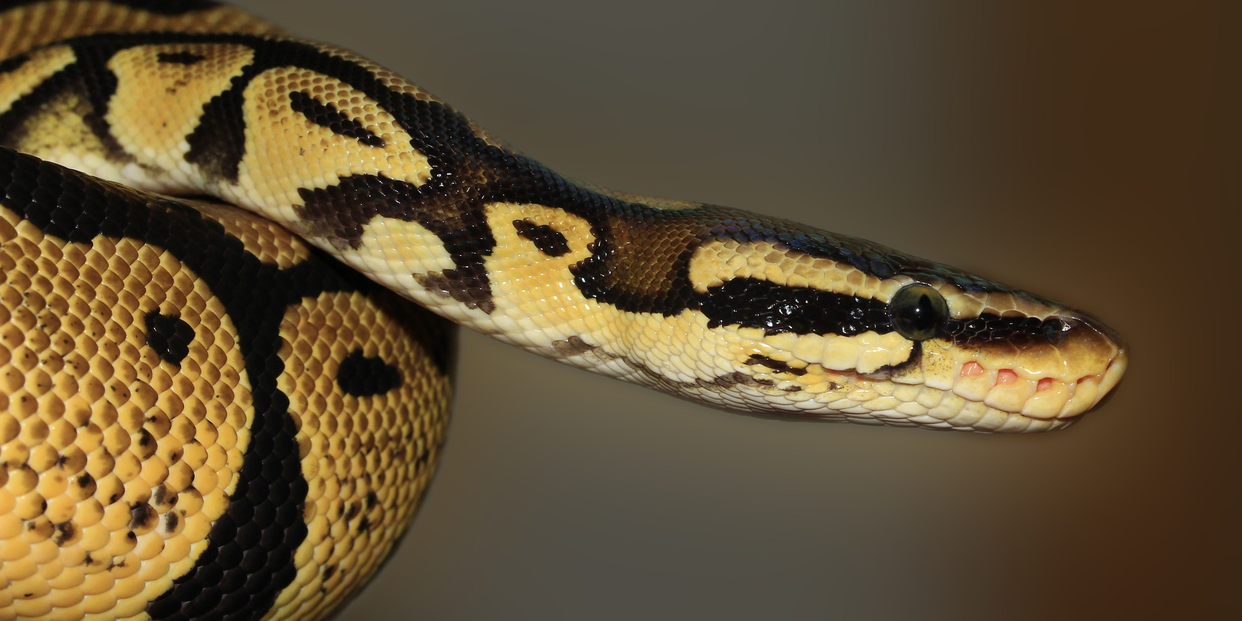 Longest Snake In The World Dill Purple Geniuses