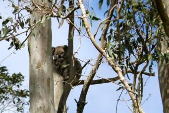 Tucki Tucki - Cemetery Koalas (NSW)
