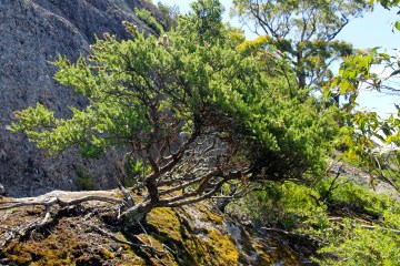 """Natural Bonsai - Pete said """"If only it wasn't a National Park!"""" (Vic)"""