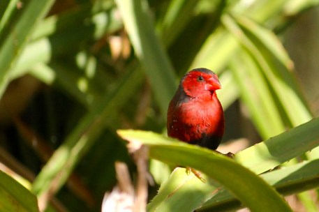 Crimson Finch (Qld)