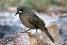 White-gaped Honeyeater (Qld)