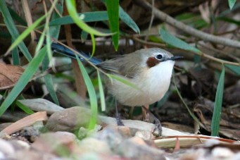 Purple-crowned Fairy-Wren (Qld)