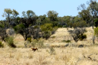 Dingo (NT)