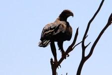 Wedge-tailed Eagle - Finke Road (NT)