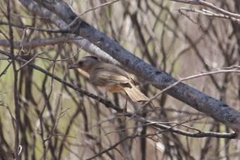 Crested Bellbird - Finke Road (NT)
