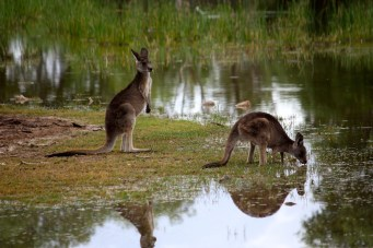 Bowra Wildlife Reserve - Kangaroos and Wallabies (Qld)