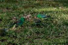 Red-rumped Parrots - St George (Qld)