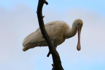 Yellow-billed Spoonbill - Bowra Wildlife Reserve (Qld)