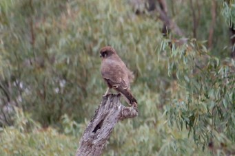 Brown Falcon - Bowra Wildlife Reserve (Qld)