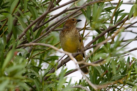 Spotted Bowerbird - Bowra Wildlife Reserve (Qld)