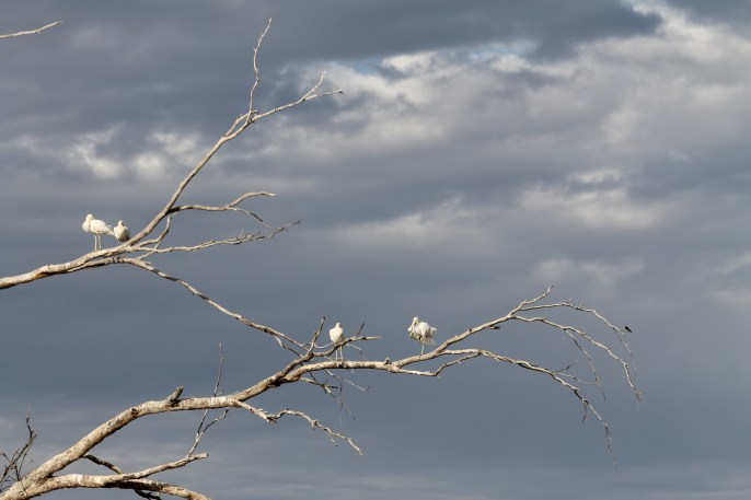 Yellow-billed Spoonbills - Bowra Wildlife Reserve (Qld)