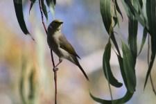 White-plumed Honeyeater - Billabourie (NSW)