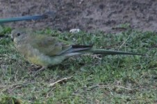 Red-rumped Parrot - Female - Billabourie (NSW)