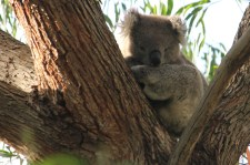Koala - Mt Gambier - Valley Lake Conservation Park (SA)