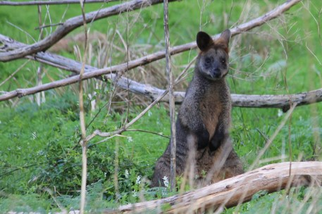 Swamp Wallaby - Mt Gambier - Valley Lake Conservation Park (SA)