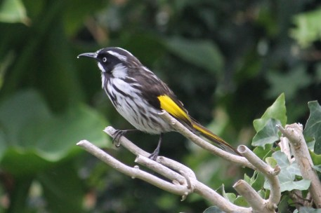 New Holland Honeyeater - Mt Gambier - Umpherston Sinkhole (SA)