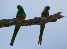 Mulga Parrot - Pair - Wandina Station (WA)