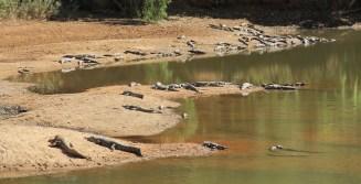 Windjana Gorge - Freshwater Crocodiles (WA)