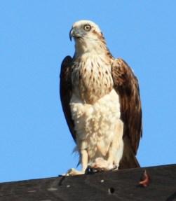 Osprey - Cable Beach, Broome (WA)
