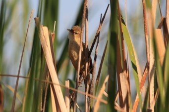 Australian Reed Warbler - Fitzroy Crossing (WA)