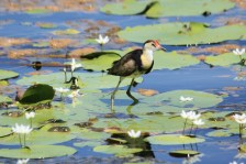Comb-crested Jacana - Fitzroy Crossing (WA)