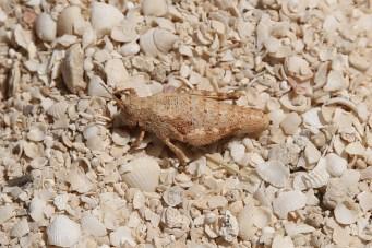 Grasshopper/Locust - Hamelin Station (WA)