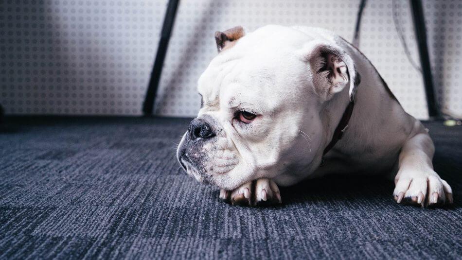 gambar anjing bosan dan tidur gabut bored