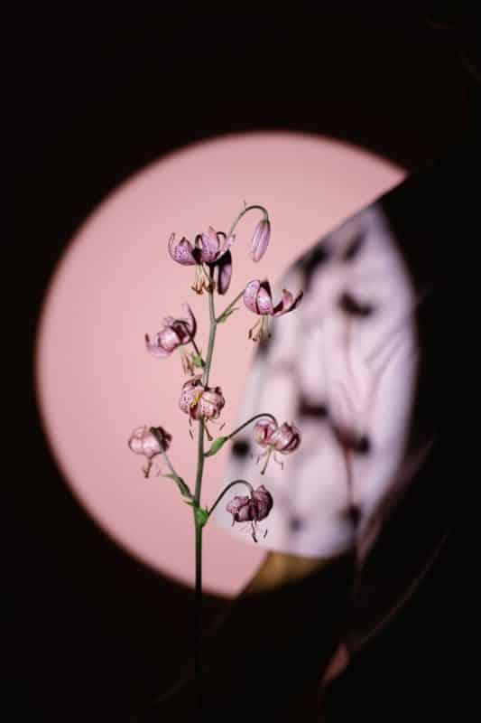 foto keren untuk profil whatsapp instagram telegram tiktok facebook line aestetik estetik bunga ungu di dalam cahaya bulat latar belakang pink