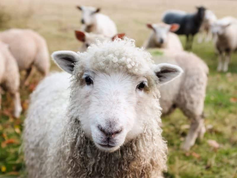 foto keren untuk profil whatsapp instagram telegram tiktok facebook line hewan lucu segerombol domba putih berbulu tebal menghadap ke kamera di rerumputan