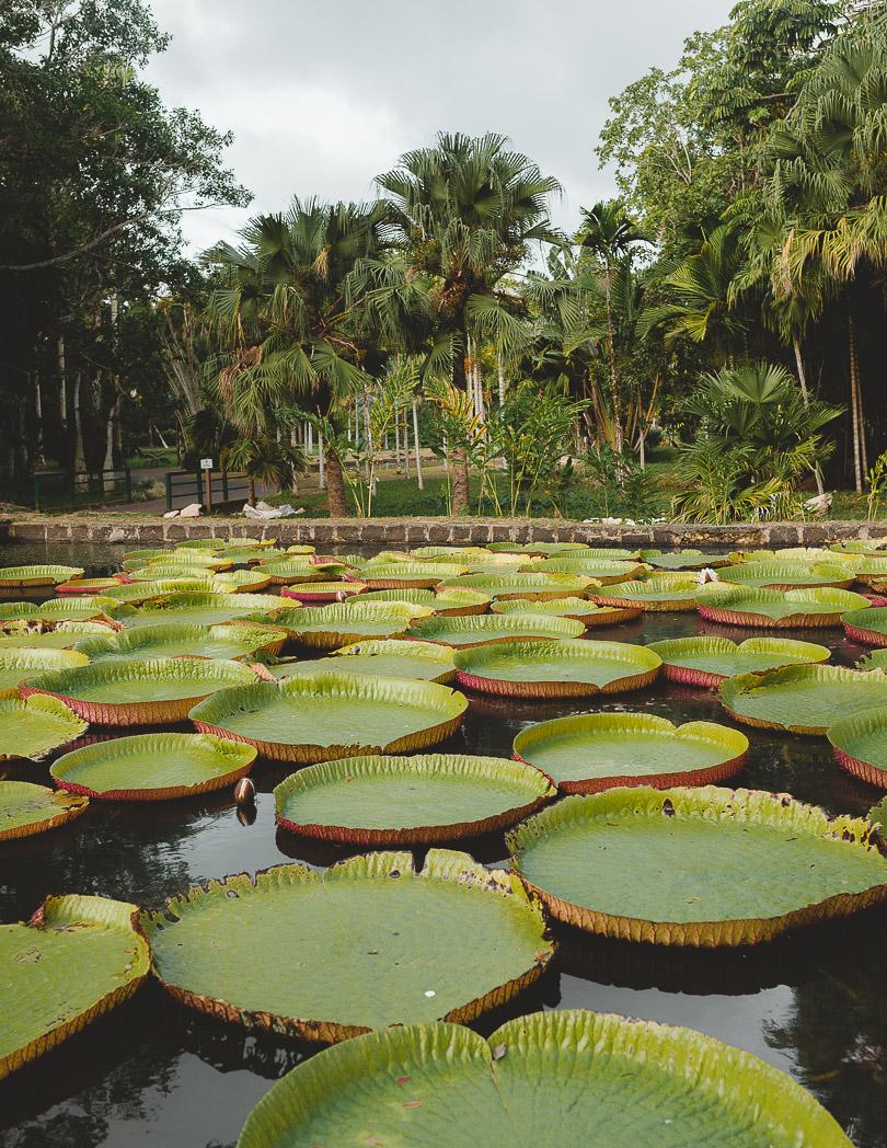 Pamplemousse Botanic Garden lily pads