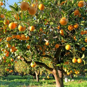Huge crop of large, Greek Oranges on a tree with an Orange orchard behind