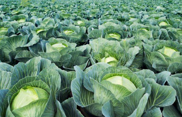 direkt vom Gemüsebauer