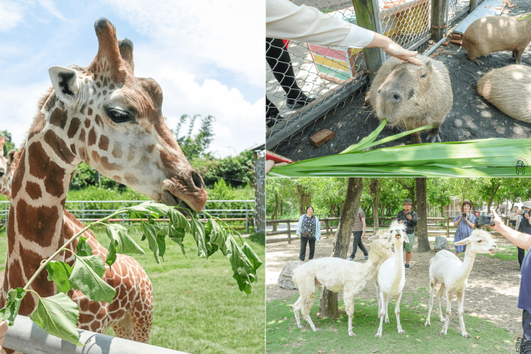 台南一日遊景點   學甲頑皮世界野生動物園,可以跟長頸鹿、水豚近距離餵食接觸,安排親子旅遊療癒一下吧!