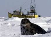 Canadian Seal Hunt