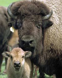 end trapping and killing of bison that leave Yellowstone National Park