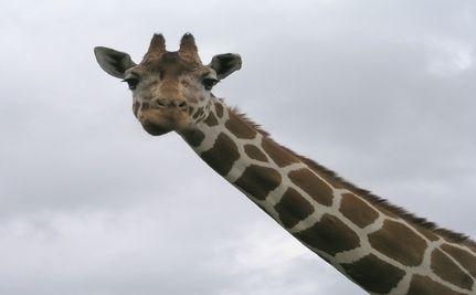 "Giraffe On ""The Zookeeper"" Set Dies; Whistleblower Alleges Neglect"