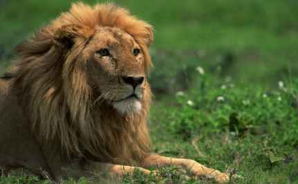 Why Are African Lions Disappearing?