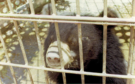 """Mother Bear Kills Cub and Self to Escape Life of Bile """"Milking"""""""