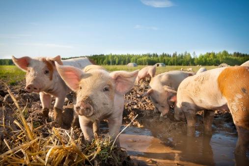 Pigs outside