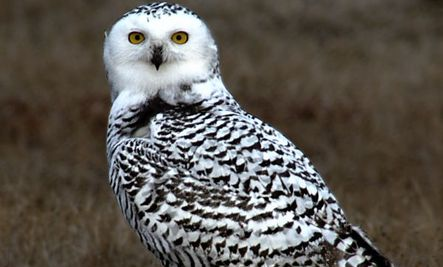 Snowy Owls Mass in United States