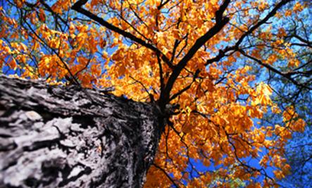 Plant Medicine: Slippery Elm Bark