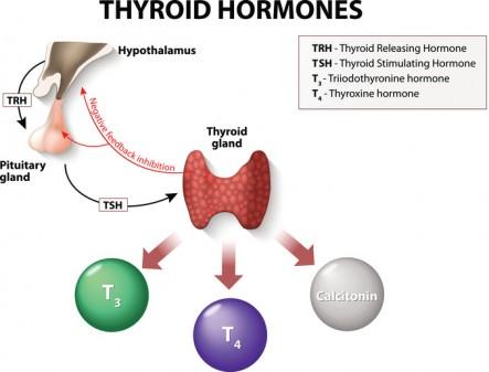 Thyroid-gland-and-thyroid-hormones