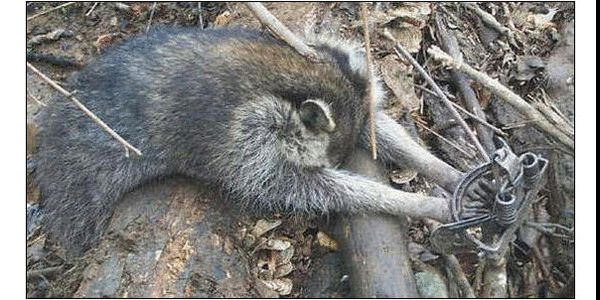 Ban Steel-Jaw Leghold Traps in the U.S.