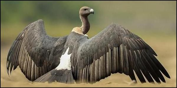 The endangered Indian Vulture. Photo via thepetitionsite.com