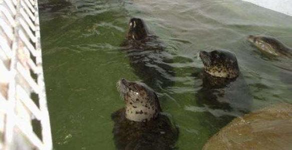 Captive seals in tiny aquarium pool